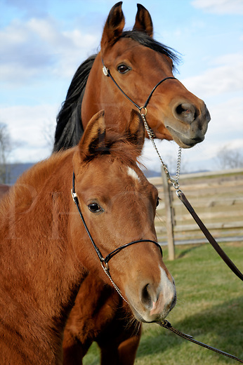 Baby horse standing with his bay mare mother in head shot close up, winter pasture, Arabian horses in portrait.