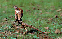 The Images from the Book Journey through Color and Time, a rare sight a Frill necked Lizard on the run, Northern territory Australia