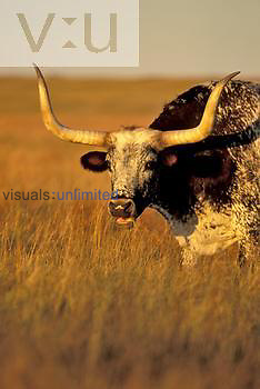 Texas Longhorn Cattle head, Southwestern USA.