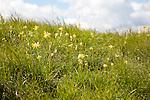 Cowslips, primula veris, Chalk grassland flowers, Roundway Hill,  near Devizes, Wiltshire, England