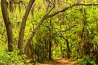 Live oak and pine trail at Harris Neck NWR in Georgia