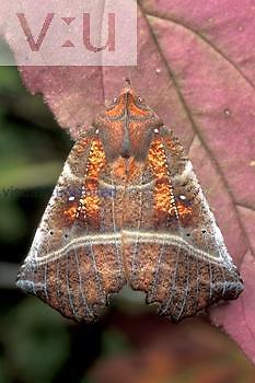 Herald Moth ,Scoliopteryx libatrix,, Ohio.