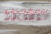 Flock of lesser flamingos moving through shallow water at Pelican Bay.