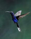Hovering - Violet Sabrewing Hummingbird