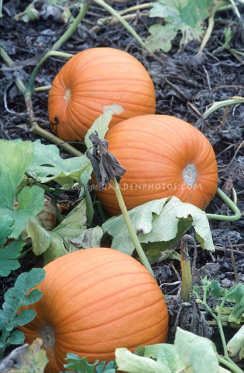 Pumpkins 'Jack o Lantern' growing on vine