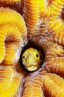 spinyhead blenny, Acanthemblemaria spinosa, in hard coral, Bonaire, Netherlands, Caribbean Sea, Atlantic Ocean