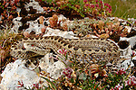 Meadow or Orsini's Viper (Vipera ursinii) resting among rocks and vegetation, Europe