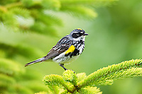 yellow-rumped warbler, Setophaga coronata, male on tree in spring, Nova Scotia, Canada