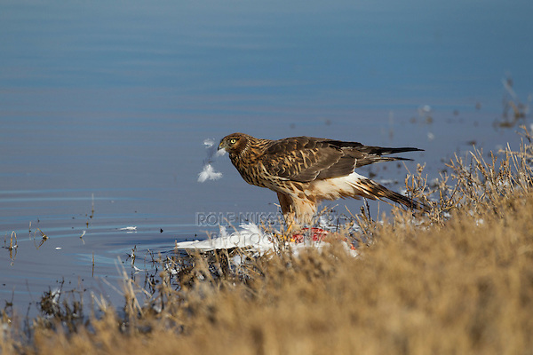 Northern Harrier (Circus cyaneus) adult feeding, Bosque del Apache National Wildlife Refuge , New Mexico, USA