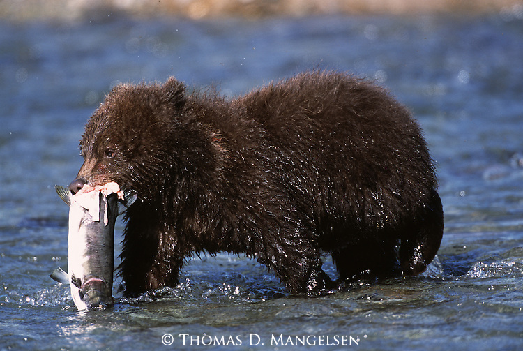 Grizzly bear cub carrying fish in Alaska