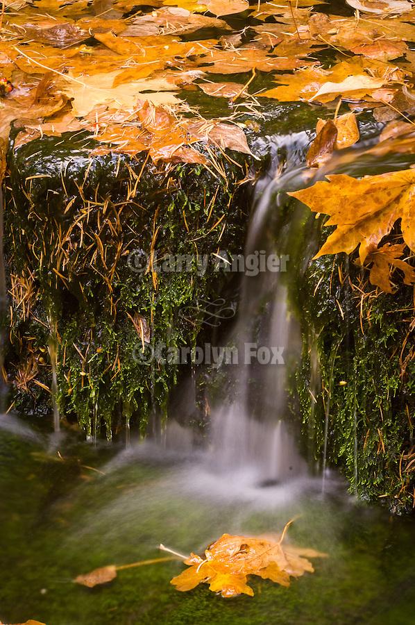 Fall color in Yosemite National park..Golden big leaf maple leaves, Fern Spring, autumn