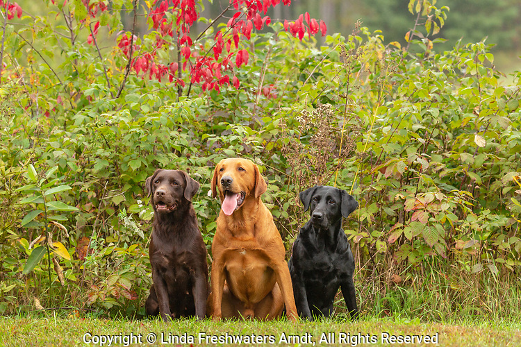 Chocolate, black, and fox red Labrador retrievers posing together in a Wisconsin backyard.