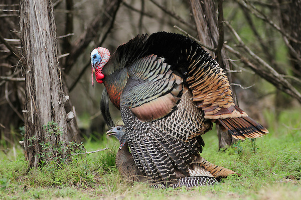 Wild Turkey (Meleagris gallopavo), pair mating, New Braunfels, San Antonio, Hill Country, Central Texas, USA