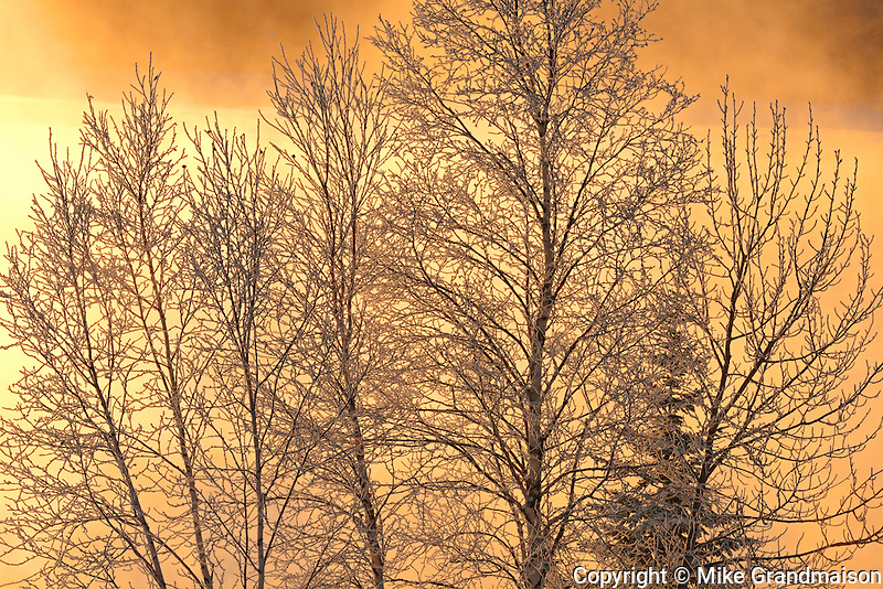 Poplar trees covered in hoarfrost at sunrise by Lac Seul<br />