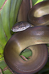 Papuan python Snake, Apodora papuana, New Guinea nocturnal,  ability to change color, curled on palm leaf.Papua New Guinea....