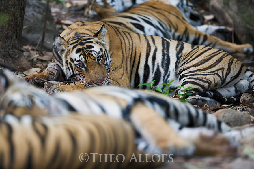 Bengal tiger family with 17 months old cubs in cool shady area after feeding on sambar deer kill, early morning, dry season