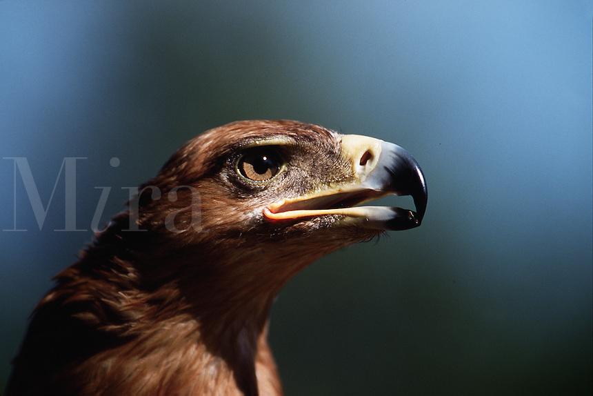 Portrait of a Tawny eagle (Aquila rapax) with open beak.