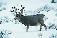 Mule Deer, Black-tailed Deer (Odocoileus hemionus), Trophy buck in snow, Colorado, USA