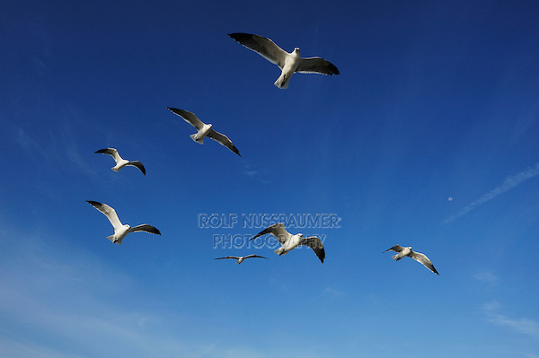 Laughing Gull (Larus atricilla), adult in flight, Port Aransas, Mustang Island, Texas Coast, USA
