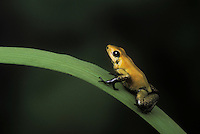 GOLDEN POISON FROG. Most virulent skin toxin of all frogs and toads..Native to Pacific Coastal (Western) Colombia. Captive..Phyllobates terribilis.