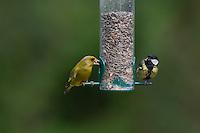 Kohlmeise und Grünfink, an der Vogelfütterung, Fütterung am mit Körnern gefüllten Futtersilo, Körnerfutter, Kohl-Meise, Meise, Meisen, Parus major, great tit, Grün-Fink, Chloris chloris, Carduelis chloris, Greenfinch. Ganzjahresfütterung, Vögel füttern im ganzen Jahr
