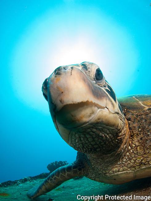 Courious green sea turtle,st anthonys wreck Maui Hawaii.