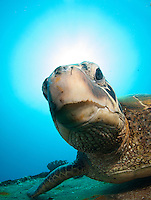 Courious green sea turtle,st anthonys wreck Maui Hawaii.