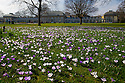 22/03/15  <br /> <br /> Crocuses in the spring sunshine at Sheffield Botanical Gardens.<br /> <br /> All Rights Reserved - F Stop Press.  www.fstoppress.com. Tel: +44 (0)1335 418629 +44(0)7765 242650