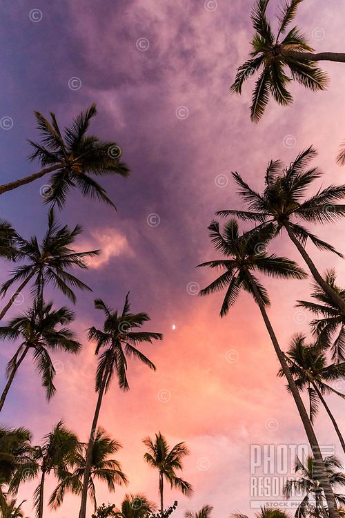 Grove of palm trees around the moon at sunset, Pua'ena Point, Hale'iwa, North Shore, O'ahu.