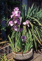 Bearded irises in cement pot planter container garden on deck
