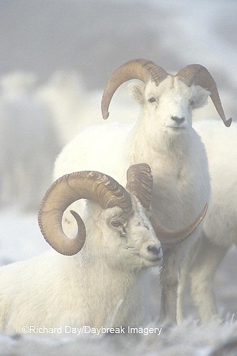 01989-00314 Dall sheep (Ovis dalli) rams in fog Yukon   Canada