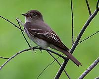 Eastern wood-peewee adult