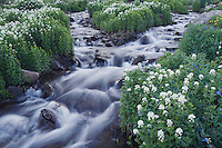 Mountain stream and wildflowers,Heartleaf Bittercress,Cardamine cordifolia, Ouray, San Juan Mountains, Rocky Mountains, Colorado, USA