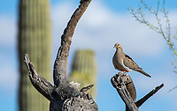 A Mourning Dove, Zenaida macroura, perches on a branch in Saguaro National Park, Arizona