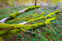 mosses, grown over dead tree trunks of European beech or common beech, Fagus sylvatica, Monte Santiago Natural Monument, County Las Merindades, Burgos, Castile and Leon, Spain