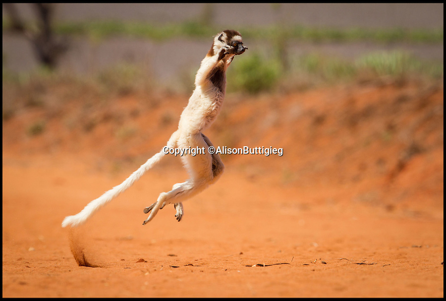 """BNPS.co.uk (01202 558833)<br /> Pic: AlisonButtigieg/BNPS<br /> <br /> ***Pleae Use Full Byline***<br /> <br /> A 'dancing' Verreaux Sifaka, who habitats in Madagascar.<br /> <br /> With video. <br /> <br /> verreaux's sifaka<br /> <br /> This is the hilarious moment a group of lemurs scrambled down a tree and burst into a fantastic dance display.<br /> <br /> The primates had been eating berries from the top of the tall bark when they decided to cross a dirt road to a cluster of other trees.<br /> <br /> As they landed on the ground each one burst into an array of impressive dance moves, including twirls, jumps, spins and stretches.<br /> <br /> They boogied their way across the track without stopping and even performed a few acrobatic stunts.<br /> <br /> The elaborate routine only stopped when they reached another trunk and scrambled up to the top.<br /> <br /> The whole thing was captured on camera by Allison Buttigieg, who was watching the lemurs' antics with her boyfriend, Olli Teirila.<br /> <br /> The couple were enjoying a holiday on the island of Madagascar in the hope of photographing the dancing, made famous by the animated DreamWorks film.<br /> <br /> Allison, 34, from Helsinki in Finland, said: """"Part of the reason I wanted to go to Madagascar is because they have lemurs there that look like they are dancing.<br /> <br /> """"We went to a spot where there were a group of them up in the trees and waited for many hours for them to move.<br /> <br /> """"Normally they jump from tree to tree but they had to cross a dirt road, so we were waiting for them to do that.<br /> <br /> """"Eventually they came down from the trees and started doing their little dance.<br /> <br /> """"They are adapted to the trees and they can't crawl so this is why they do it.<br /> <br /> """"I had seen them doing it on documentaries before and I had always said I wanted to go and see them for myself and take photos.<br /> <br /> """"It was very amusing and looked so funny, taking pictures was har"""