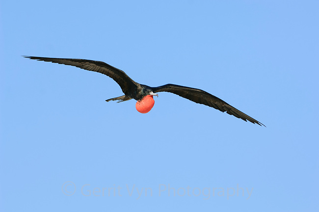 Adult male Magnificent Frigatebird (Fregata magnificens) with inflated gular sac in flight. Dry Tortugas NP, Florida. March.