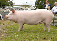 The interbreed pig champion, Large White gilt Soundvilla Fanny 62 from Geoff Parker of Tarporley, Cheshire.....Copyright John Eveson 01995 61280.