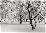 Vashon Washington:<br /> Winter, snow covered trees, <br /> Froggsong old orchard