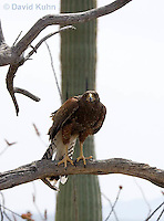 0405-1219  Harris's Hawk Perched Looking for Prey, Harris Hawk (Bay-winged Hawk or Dusky Hawk), Parabuteo unicinctus  © David Kuhn/Dwight Kuhn Photography