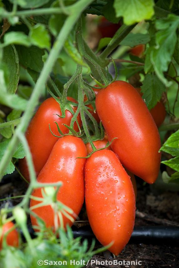 Ripe red organic 'Roma' tomatoes in backyard vegetable garden