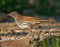 Adult long-billed thrasher