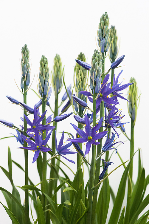 Camassia leichtlinii subsp. suksdorfii 'Maybelle' (Caerulea Group), shortlisted for Plant of the Year at the RHS Chelsea Flower Show, 2015.