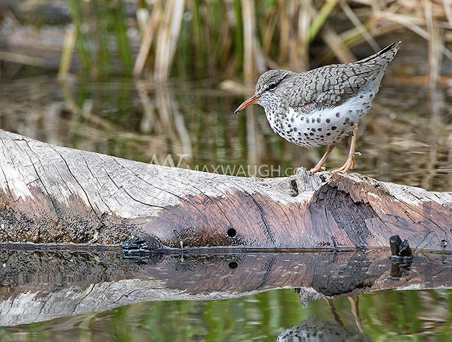 The spotted sandpiper is often seen along the shores of ponds, lakes and rivers.