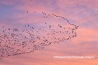 00754-02514 Snow Geese (Chen caerulescens) in flight at sunrise Marion Co. IL