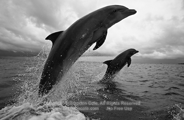 mt179. Bottlenose Dolphins (Tursiops truncatus) jumping out of ocean. Honduras, Caribbean Sea. Color photo converted to black and white..Photo Copyright © Brandon Cole. All rights reserved worldwide.  www.brandoncole.com