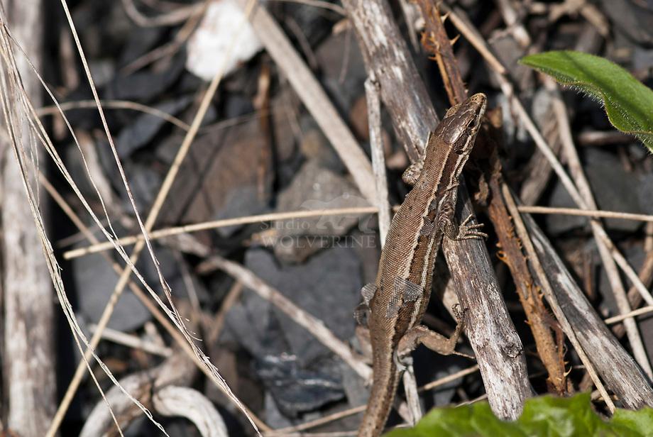 Levendbarende hagedis (Podarcis vivipara)
