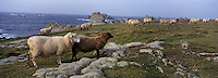 Europe/France/Bretagne/29/Finistère/Ile d'Ouessant: Moutons en paturage sur la côte sauvage