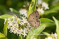 03493-00208 Little Wood-Satyr (Megisto cymela) on Swamp Dogwood (Cornus racemosa) Reynolds Co. MO