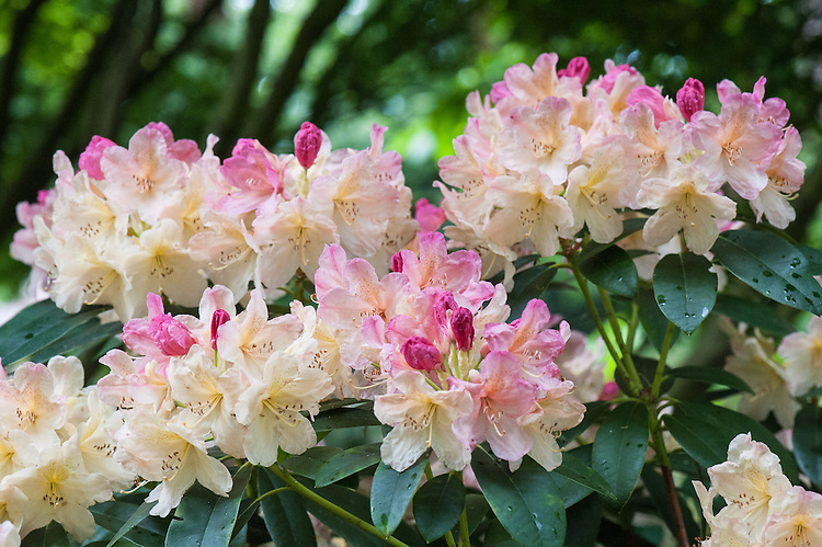 Rhododendron 'Percy Wiseman', mid May. An evergreen yakushimanum hybrid rhododendron with peach, pink and cream flowers, fading to creamy-white, with a yellow throat.